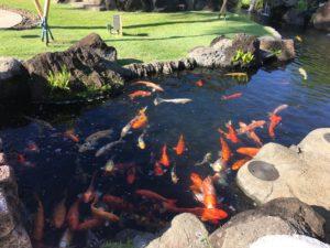 Westin Kauai koi fish