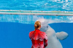 Beluga at Seaworld